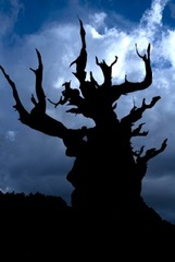 Pending Storm - Bristlecone Pine,Elizabeth Saucier