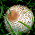20120222042032-mushroom_brown
