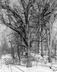 White Oak, Raoul Wallenberg Forest, Bronx 2011, Mitch Epstein
