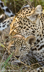 Leopard and Cub Sabi Sands, Mary Jane Sesto