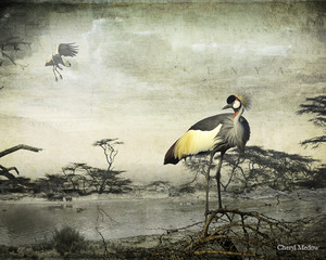 Crowned Cranes,Cheryl Medow