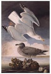 Herring Gull (Larus argentatus), John James Audubon