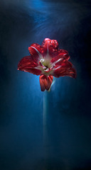 Amaryllis,Kavan Geary