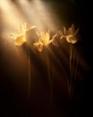 Bronze Iris, Kavan Geary