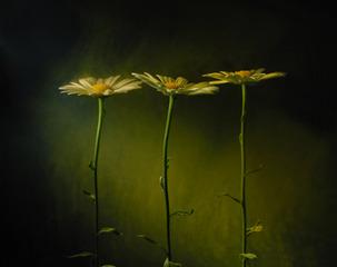 Daisies, Kavan Geary