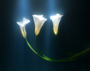 Calla Lilies,Kavan Geary