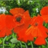Scarlet_poppies