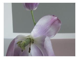 Bruised Tulip (colour),