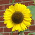20120521015401-sm_sunflower_i2340