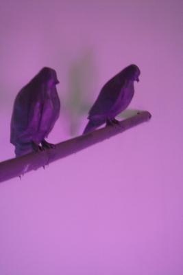 Dawn_pigeon_detail