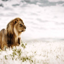 20120525100517-__klaus_tiedge_t1_4677_pride_of_africa