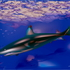 20120605165540-6_shark__1