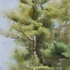 20120620173453-pines__summer_revised