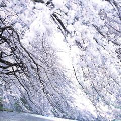 Full Blossom, Chidoriga Fuchi, Tokyo , Toshio Enomoto