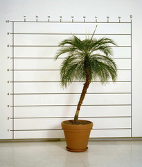 Measurement: Plant (Palm),Mel Bochner