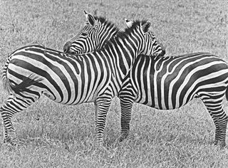 Zebras Nuzzling,Builder Levy