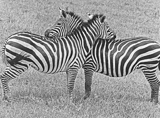 Zebras Nuzzling, Builder Levy