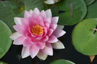Water Lilly,Ina Lunkenheimer