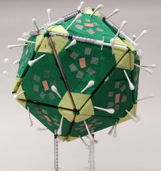 Model of Papillomavirus,Angela Cesena
