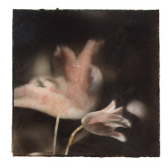 Tulips #5, Jennifer Drucker