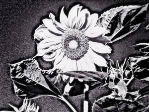 20121009210205-sunflower_at_night