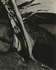 Cypress, Point Lobos , Edward Weston