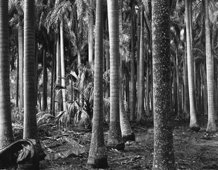 Florida Palms,Brett Weston