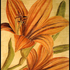 Double_amaryllis_gold_for_web
