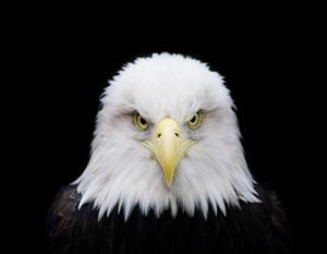 20121202213437-bald_eagle