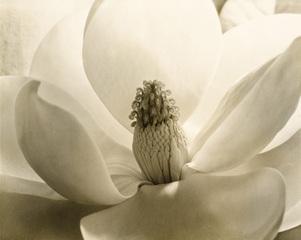 Magnolia Blossom, Imogen Cunningham