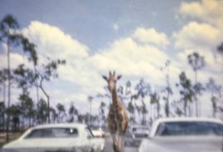Giraffe on Loose, Jerry Shevick