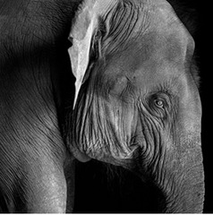Portrait of a Young Elephant, Derry Moore