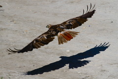 20130308000713-red_tail_and_shadow