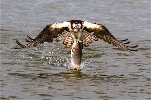20130308001427-osprey_with_rainbow_trout_-_santa_ana_river_lakes