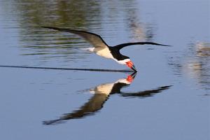 20130318184708-black_skimmer_-_san_joaquin_wildlife_sanctuary