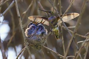 20130318185335-hummingbird_family_-_bolsa_chica