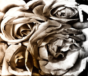 20130318211934-rev-solarized-roses-cri_3411