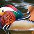 20130320001148-mandarin_duck_-_irvine_park