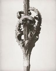 Dipsacus laciniatus, Cutleaf Teasel, Opposite Leaves at Stem,, Karl Blossfeldt