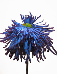 Electric Blue Dahlia, Jamie LaValley