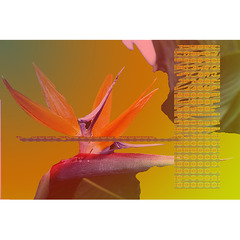 Bird of Paradise, Viriginia Evans Smit