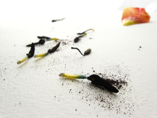 Tulip Series, no. 29, Andréa D. Guerra