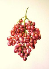 Grapes, J R Shepherd