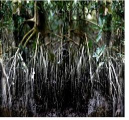 Mangrove 8  , Alain Lefort