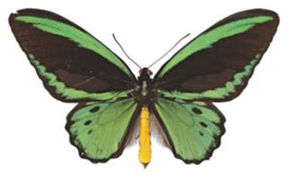 Ornithoptera euphorion, Cairns Birdwing