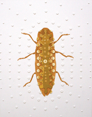 Hybrids H - Calcolepididiua Tivogloeus, Paul Paiement