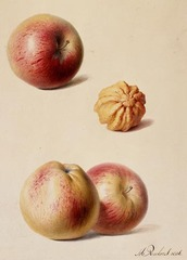 Apples and a Walnut, Hendrik Reekers