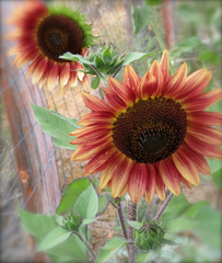 20130721182232-dreaming_sunflowers