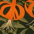 20130819021043-superb_lilies-lo