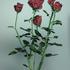 20130824082049-rose